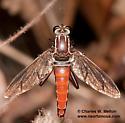 Mydas Fly - Stratiomydas lividus