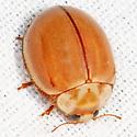 spotless Lady Beetle - Myzia interrupta