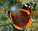 Butterfly with red stripe - Vanessa atalanta