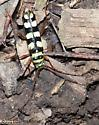 Six-banded Longhorn Beetle - Id Confirmation Requested - Dryobius sexnotatus