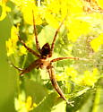 Nursery web/fishing spider - Dolomedes vittatus - female
