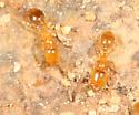 tiny yellow ants - Solenopsis