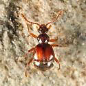Pselaphinae - Reichenbachia facilis - female