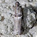 moth - Quasisalebria admixta