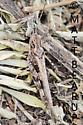 Grasshopper - Conozoa sulcifrons