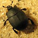 Myrmecophilous hister beetle - Psiloscelis perpunctata - female
