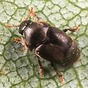 beetle - Brachypterolus pulicarius