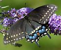 Papilio polyxenes? - Papilio polyxenes - female