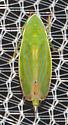 2018-09-07 Circus leafhopper - Spangbergiella quadripunctata