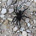 Large Black Arachnid - Antrodiaetus