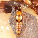 Rove beetle - Lordithon facilis