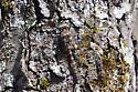 Ringed Boghaunter (Williamsonia lintneri) female - Williamsonia lintneri - female