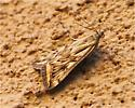 Brown and Yellow Moth - Loxostege cereralis