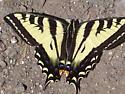 Swallowtail2 - Papilio rutulus - female