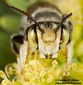 Megachile sp. - Megachile sidalceae - male