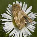 Schinia obscurata Moth ??? - Schinia obscurata