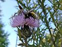 Large yellow bumble bee - Bombus pensylvanicus - male