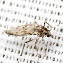 Midge - Chaoborus punctipennis - female