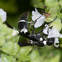 Potter and Mason Wasp - Pseudodynerus quadrisectus