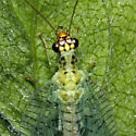 Chrysopa oculata? - Chrysopa oculata