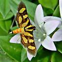 Tiny Lawn Moth - Syngamia florella