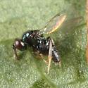 wasp from oak leaf galls - Ormyrus - male