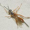 Ichneumon Wasp - Mesostenus thoracicus - female