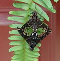 Tiger Bees - Xenox tigrinus - male - female