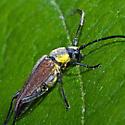 Flower Longhorn - Trachysida mutabilis