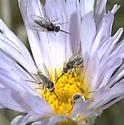 Apolysis nectaring on Xylorhiza - Apolysis