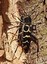 Banded Ash Borer - Neoclytus caprea - male - female