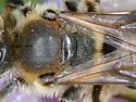 Andrena - Andrena wilkella - female