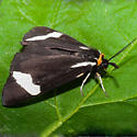 Unknown Moth - Parasemia plantaginis