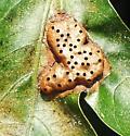 multi-hole oak leaf gall - Callirhytis favosa
