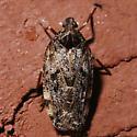 Epiptera - Cixidia fusiformis