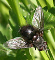 Fly ID Request - Leschenaultia