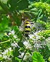 Wasp - Dielis tolteca - Dielis tolteca