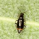 Beetle - Attalus