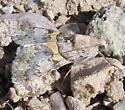 unkn moth - Forsebia cinis - male