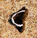 White Admiral- Limenitis arthemis - Limenitis arthemis