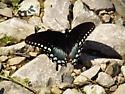 Spicebush Swallowtail - Papilio troilus - Papilio troilus - male