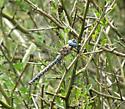 Dragonfly species - Rhionaeschna multicolor