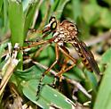 Diogmites missouriensis (texanus) (2 of 3) - Diogmites missouriensis - male