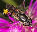 Chalcosyrphus ? - Tropidia albistylum