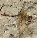 what kind of Meadowhawk?  - Sympetrum