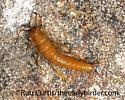 3025031 Stonefly - Pteronarcys californica