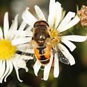 syrphid - Eristalis arbustorum