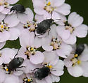 Tiny Black Beetles - Bruchidius villosus