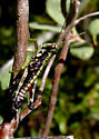 un-ID grasshopper - Booneacris glacialis - male