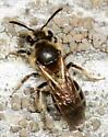 Andrena? - Andrena miserabilis - female